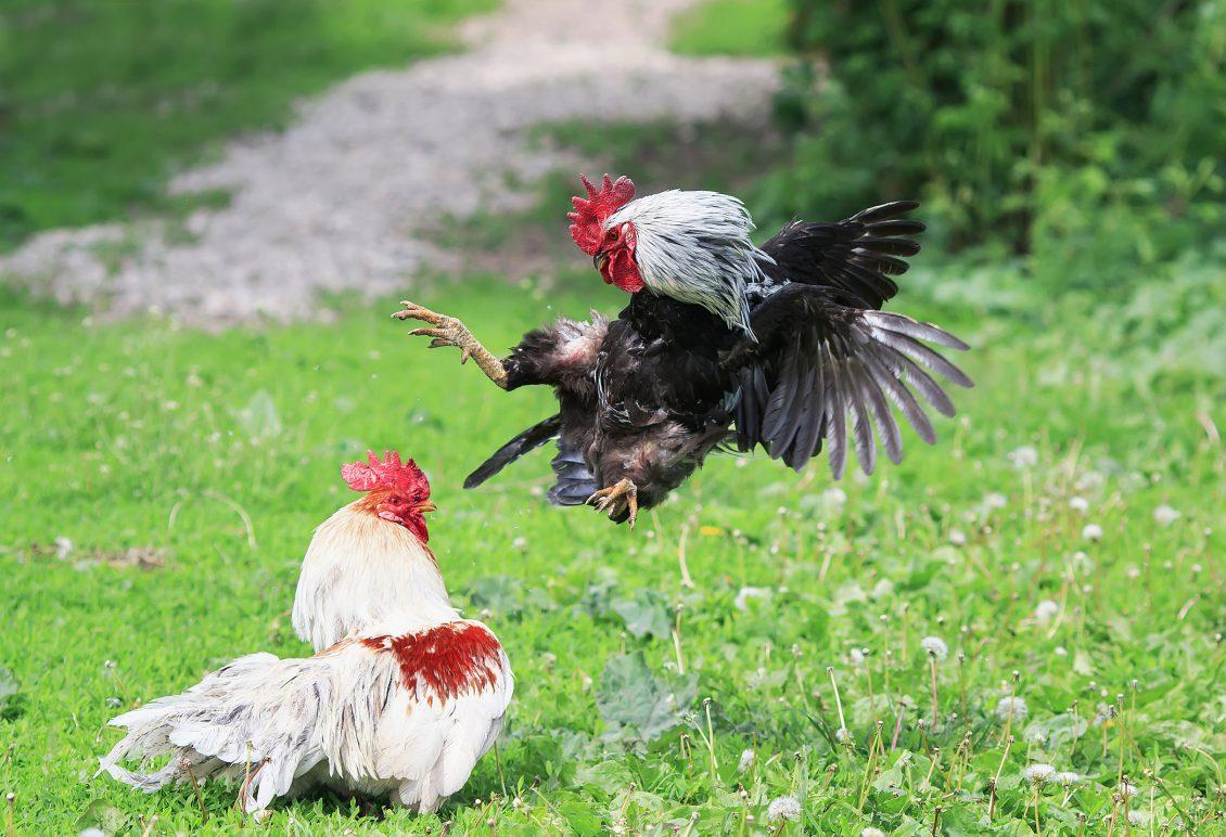 Mari Mengenal Judi Sabung Ayam